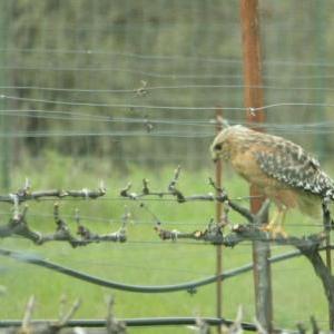 large_Redtail Hawk