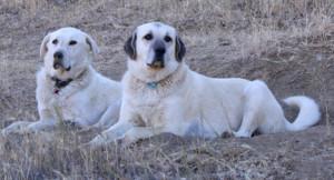Blanca & Nubia guard the sheep against predators