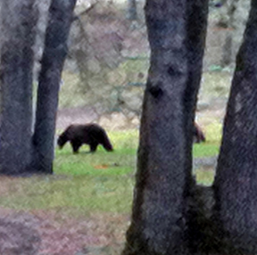 Bears at Six Sigma Ranch