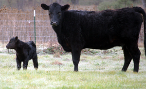 First cow with calf