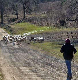 Robert Irvil hiking with the sheep at Six Sigma Ranch