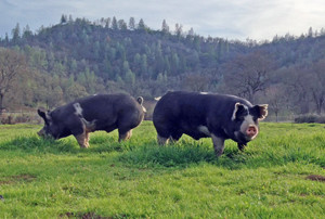 Pigs at Six Sigma Ranch