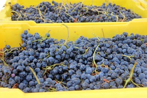 Tempranillo harvest!
